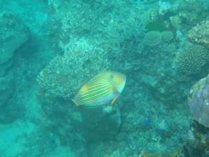 Mangaliliu reef fish