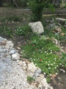 Dominique-garden-flowers